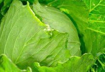 常吃乳酸發酵高麗菜,減少壞膽固醇!