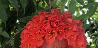 《春花浪漫時》  又是動植物公園寶冠木開花的季節,碩大艷麗的花朶引人注目,今天就吸引了不少遊人聚集花下,拍照打卡,場面十分熱鬧。  寶冠木又名繡球樹,在香港