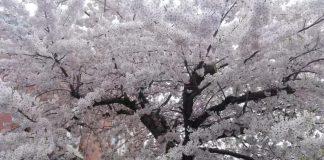 #櫻花季#